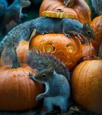 6 фото белок, пытающихся стащить хэллоуинские тыквы
