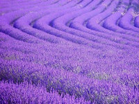 20 потрясающих снимков лавандовых полей во Франции и удивительные факты о них
