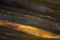 Овцы на тосканских полях Италии