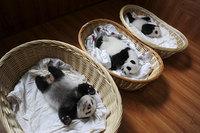 Эти удивительные малыши, мирно спящие в корзинах, покорили мир! Кто бы сомневался?!