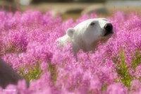 Эти полярные мишки, резвящиеся на цветочном поле, стали звездами интернета