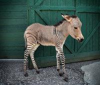 18 гибридных животных со всего мира, в существование которых сложно поверить