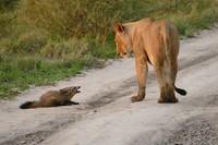 Львицу так поразила храбрость раненого лисенка, что она защитила его от своего прайда!