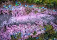 17 волшебных фотографий цветения сакуры в Японии от National Geographic