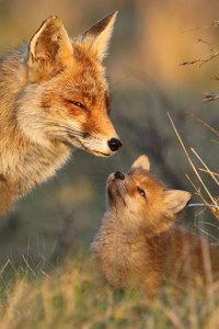 13 редких снимков из «личной» жизни лисиц, которую мы не видим