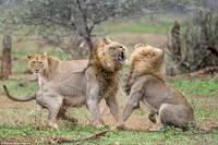 16 ярких фото драматической схватки двух львов из-за самки
