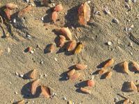 Массовое нашествие странных существ на пляжах Калифорнии