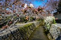 Сакура в Киото: что-то пошло не так