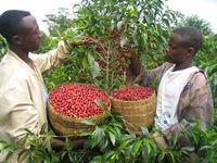 Из-за изменения климата кофе может стать дорогим и невкусным