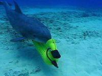 Дельфины-миноискатели помогут спасти «морских панд»