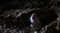 Кузнечиковые хомячки умеют кричать как люди