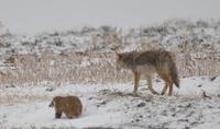 Как койоты и барсуки охотятся вместе