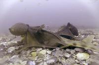 «Октополис» и «Октлантис»: что мы знаем о «городах» осьминогов