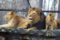 В Сибири обнаружены потомки вымерших африканских капских львов