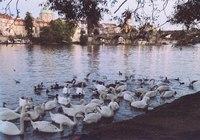 Лебеди в Праге в октябре