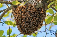 Гибридная пчела-убийца: на ее совести уже 300 жизней, и ее не остановить