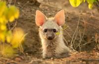 Земляной волк — удивительное животное, о котором вы никогда не слышали
