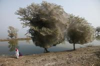 Как возникли деревья-призраки в Пакистане