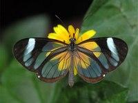 Стеклянная Грета Ото: почему прозрачную красавицу не трогают хищники