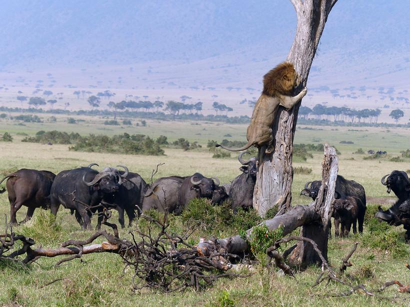 6 фото о том, как лев спасался от стада буйволов, карабкаясь на дерево