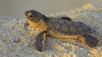 Одни девочки: из-за потепления из яиц морских черепах вылупляются только самки
