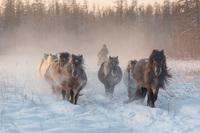 Феномен якутских лошадей: как им удается выжить в дикой природе при -60 градусах