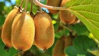 Киви: где в России выращивают чудесный фрукт и другие интересные факты