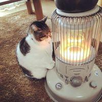 Зима не отпускает: уморительные фото кошки, влюбленной в обогреватель
