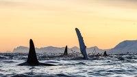 Потрясающие фото, показывающие, как едят и играют киты и косатки у берегов Норвегии