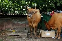 Новоафонские коровы