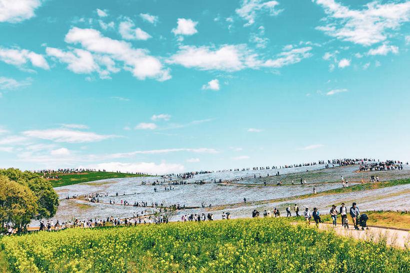 Сезон небесных цветов: в Японии цветут немофилы, и это самая сказочная картина