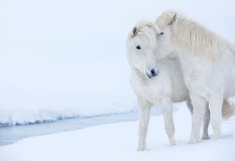 Сказочные фотографии лошадей, живущих в экстремальных условиях Исландии
