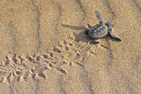 Маленькая черепашка Каретта Каретта ползет к морю