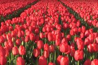 Тюльпанные поля в Нидерландах