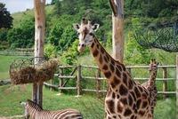 Жирафы и зебра в зоопарке Праги (август, Чехия)