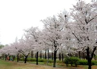 На фестивале цветущей сакуры
