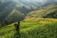 Рисовые поля. Вьетнам