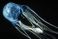 Симпатичная, смертельно жалящая медуза-коробочка