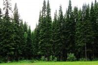 Пихта сибирская в лесу