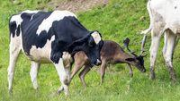 В Англии появился олень, который возомнил себя коровой