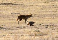 Койот и барсук создают причудливый тандем, чтобы помочь другу другу охотиться