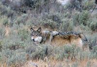 Зачем в Йеллоустонском парке сначала истребили волков, а затем вернули обратно